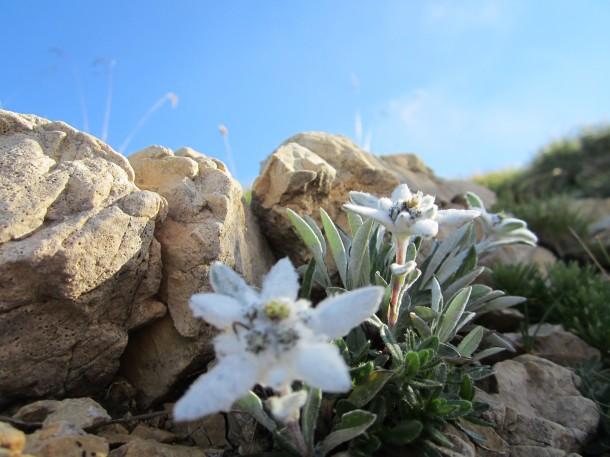 Edelweiss Italie