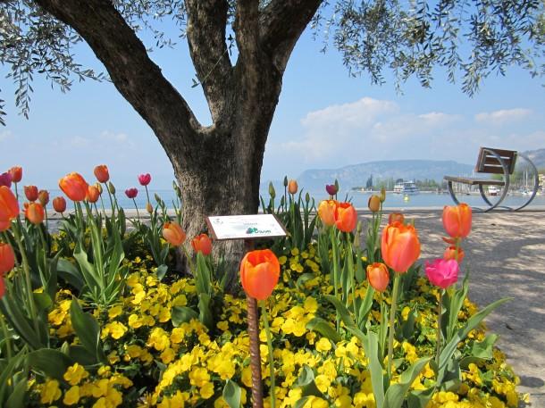 Prachtige tulpen op de boulevard van Bardolino