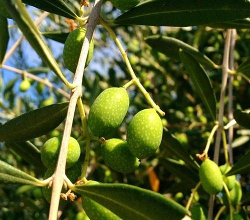 Kamperen tussen de olijfbomen